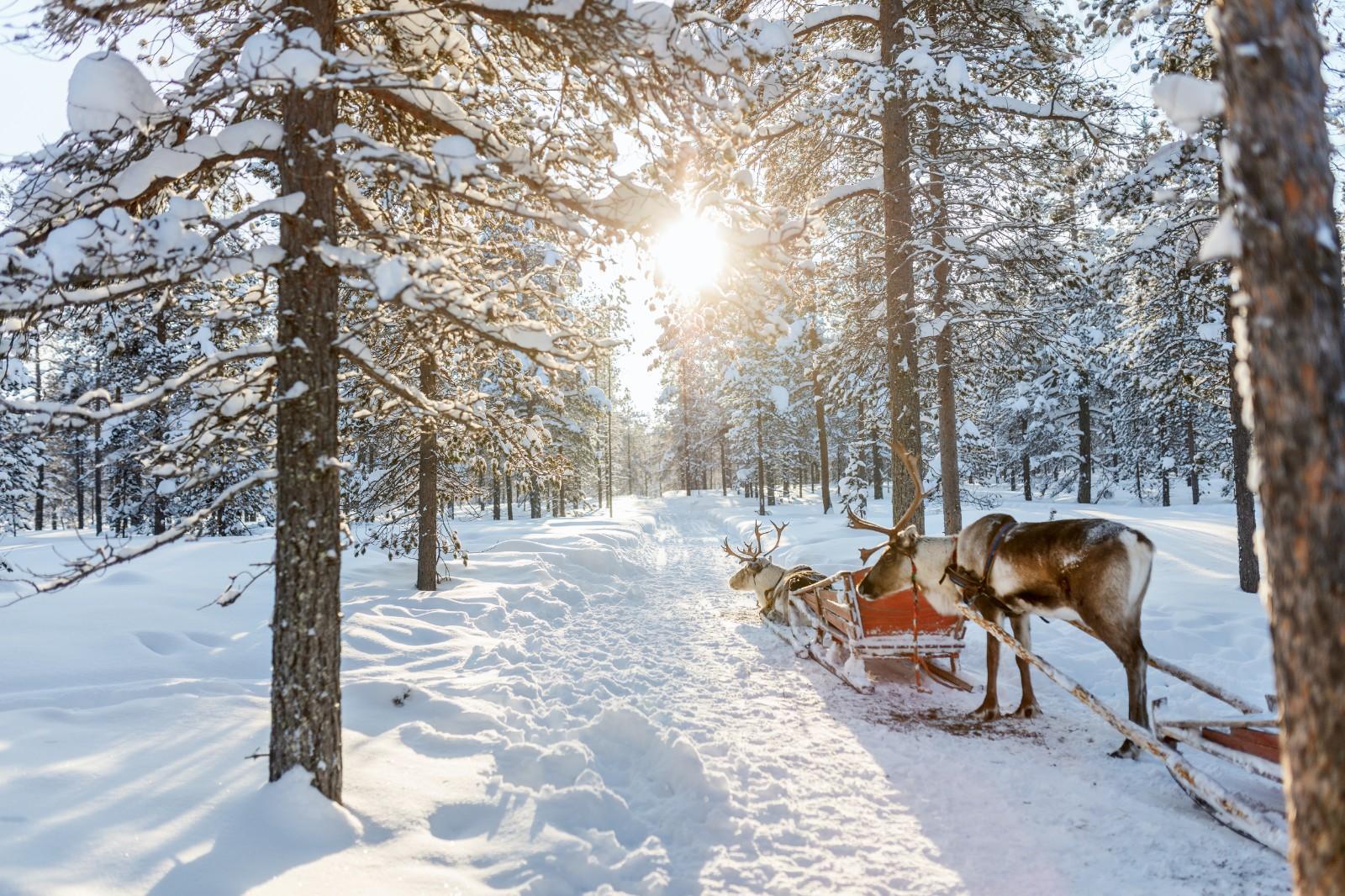 芬兰-驯鹿-森林-阳光.jpg